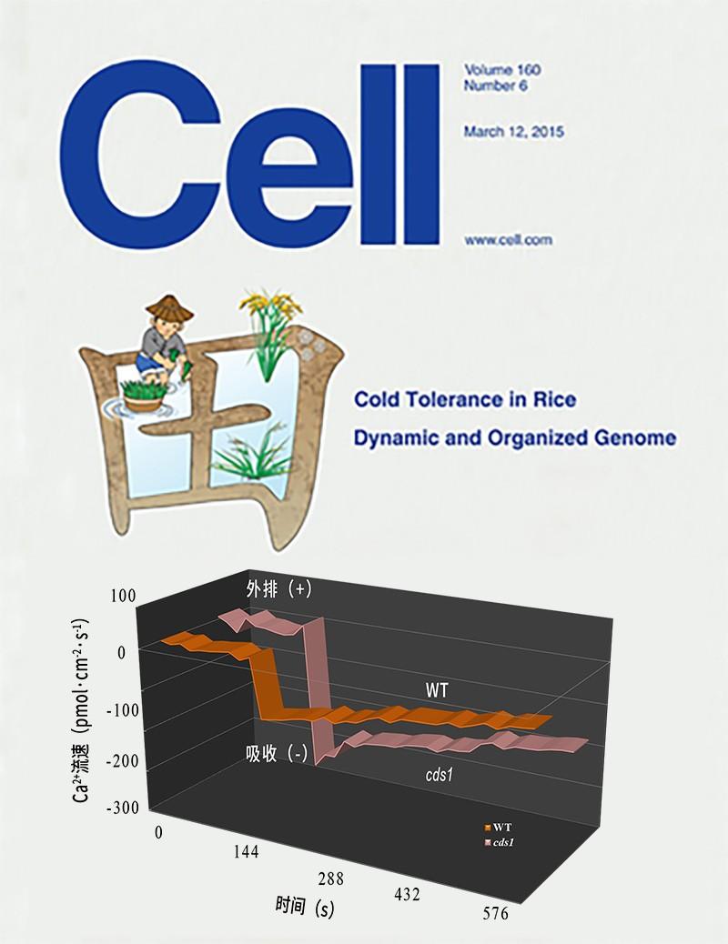 NMT检测根系Ca2+流检测揭示水稻耐低温信号传递新机制