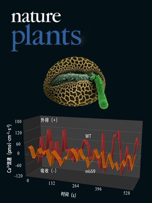 NMT监测mlo5/9突变体花粉管钙吸收异常致无法识别胚珠的扩散信号