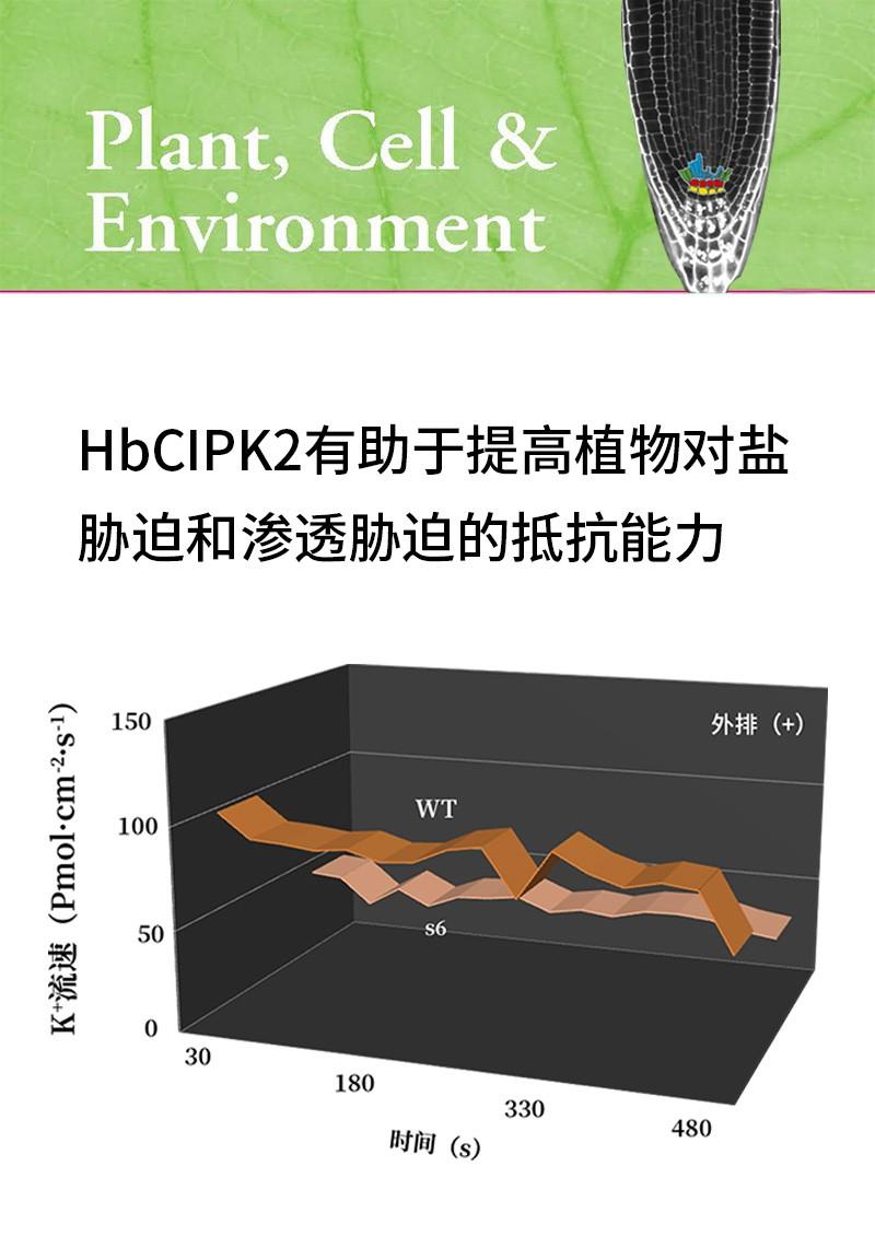 HbCIPK2有助于提高植物对盐胁迫和渗透胁迫的抵抗能力