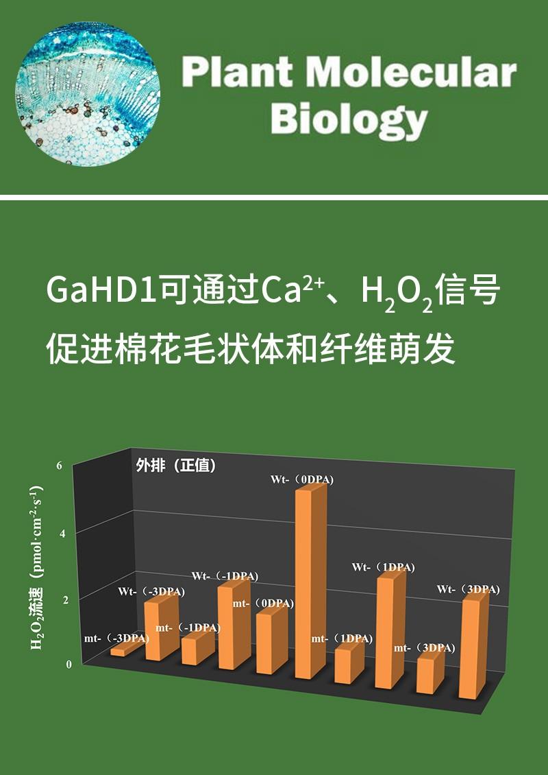 GaHD1可通过Ca2+、H2O2信号促进棉花毛状体和纤维萌发