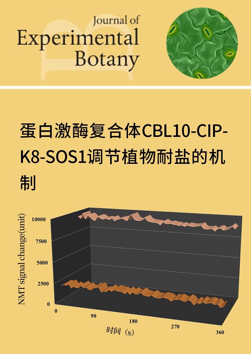 蛋白激酶复合体CBL10-CIPK8-SOS1调节植物耐盐的机制